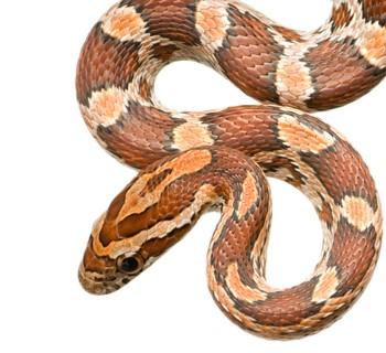 corn-snake